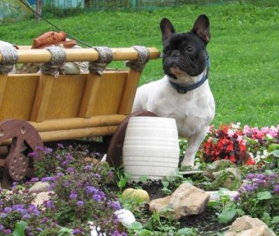 Французский бульдог. Shepherd's Bulldogs Edison